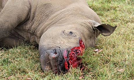 A rhino poached on a private ranch Oserian Wildlife Sanctuary