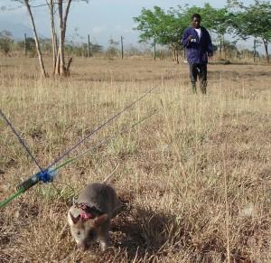 Ratto gigante del Gambia in un campo minato