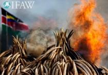 Falò di avorio in Kenya (foto courtesy IFAW)