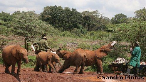 Orfanotrofio degli elefanti a Nairobi