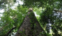entandrophragma excelsum, l'albero più alto dell'Africa, in Tanzania