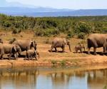 Branco di elefanti