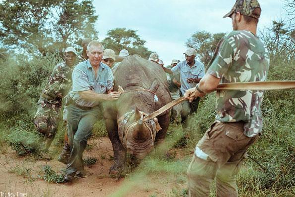 L'ambientalista ungherese Krisztián Gyöngyi mentre cattura assieme ai rangers un rinoceronte per trasferirlo in salvo nel parco dell'Akagera in Ruanda