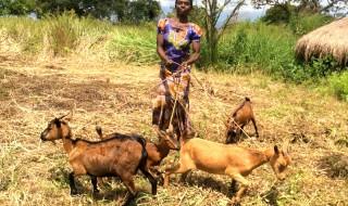 Distribuzione di capre a quasi mille donne nigeriane nel nord-est del Paese