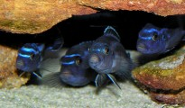 Melanochromis cyaneorhabdos, una delle 800 specie di pesci presenti nel lago Nyassa