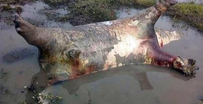Namibia: ippopotamo morto
