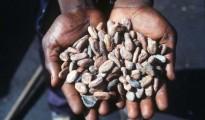 Chicchi di cacao