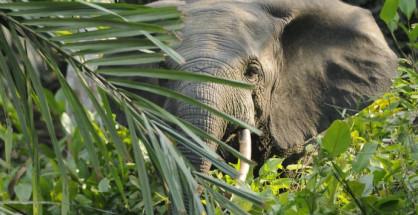 Elefante delle foreste (Loxodonta cyclotis) nel suo habitat