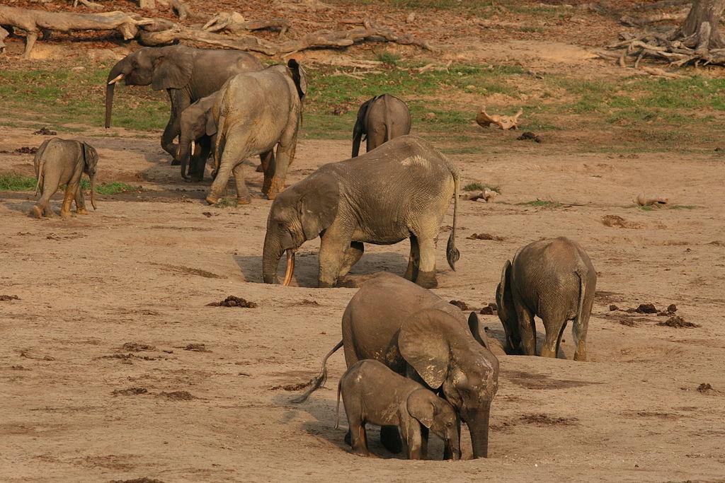 Gruppo di elefanti delle foreste (Loxodonta cyclotis)