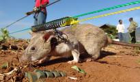 Hero Rats della ONG APOPO mentre individuano una mina anti-uomo