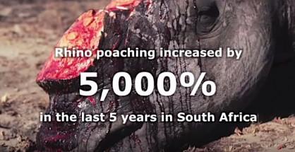 In cinque anni aumentato del 5000 per cento il numero dei rinoceronti uccisi dai bracconieri (courtesy traffic.org)