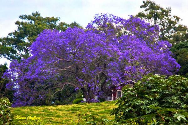 Un rigoglioso albero di palissandro in piena fioritura