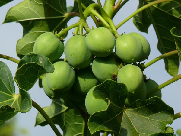 Il frutto quasi pronto per il raccolto