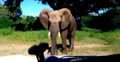 Elefante in un parco fotografato dall'auto