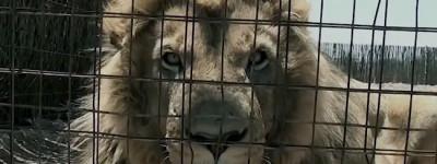 Leone in gabbia in un allevamento sudafricano (Courtesy BloodLions®)