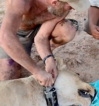 Philip Stander mentre applica un radio -collare a uno dei leoni del deserto (Courtesy Desert Lion Conservation)